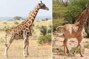 '포토샵 아니에요' 우간다에서 처음 발견된 드워프 기린