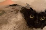 퐁당! 집사가 목욕할 때마다 뛰어드는 고양이