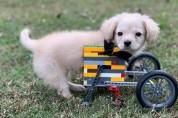 소년이 선물한 '레고 휠체어'를 탄 강아지!