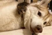 허스키 엄마를 향한 아기 고양이들의 레이스