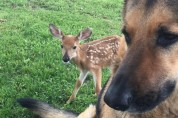 6년째 아기 사슴을 돌보는 경찰견, 사지