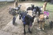 휠체어 군단 출동! 6마리의 장애견을 키우는 여성