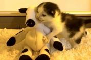 젖소 인형과 사랑에 빠진 아기 고양이, 보