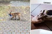 여우는 왜 100 켤레의 신발을 훔친 걸까? '안타까운 사연'