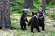 가위바위보! 아기 곰들이 노는 방법