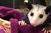 모두에게 미움받는 주머니쥐를 구조했다, 그 결말은?