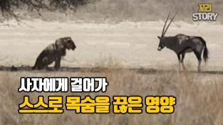 다리를 다친 영양이 사자에게 걸어간 이유 (영상)