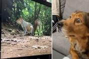 TV 속 다람쥐를 보고 혼란스러운 댕댕이 '뭥미'