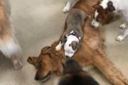 음냐음냐! 엎드린 댕댕이 위에서 꿀잠 드는 강아지