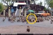 '코로나 때문에' 패싸움을 벌인 수백 마리의 원숭이들