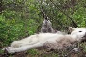 '누가 마이크 좀' 누워서 하울링하는 게으른 늑대들