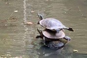묘기 부린 후, 박수를 기다리는 거북이들