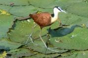 물 위를 걷는다? 예수라 불리는 새, 아프리칸 자카나