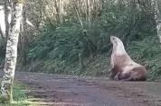 길치의 끝판왕! 숲속에서 발견된 바다사자