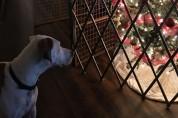 매년 크리스마스트리를 박살 내는 댕댕이들 '올해는 힘들걸?'