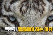백호가 멸종해야 하는 이유