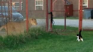 사자에게 달려든 분노조절 장애 고양이 (영상)