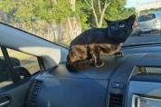 엄마야! 운전 중 차 안에서 튀어나온 고양이